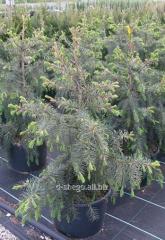 Brever's (picea breweriana) 1-1.2 fir-tree