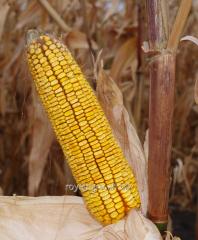 Corn seeds Belkorn of 260 MV NEW in-t of Yuryev of