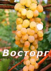 Черенки винограда Восторг