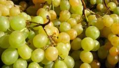 Черенки винных сортов винограда