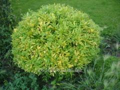 Privet of L.vulgareH-20-70 (Ligustrum)