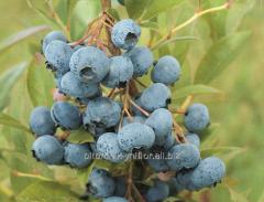 Blueberry Blyugold (Vaccinium corymbosum