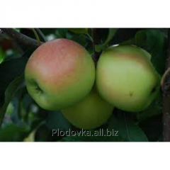 Apple-tree saplings Ambrosia