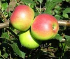 Саженцы яблони Уэлси