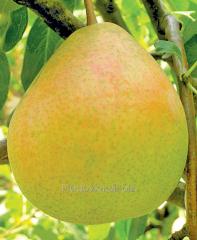 Pear saplings Blanca