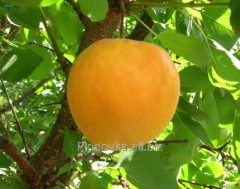 Саженцы абрикоса Голдрич