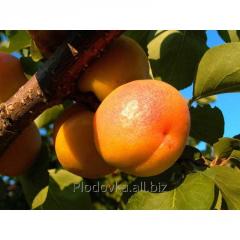 Саженцы абрикоса Джумба Тардив