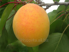 Саженцы абрикоса Петропавловский