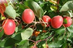 Саженцы абрикоса Спринг Блуш