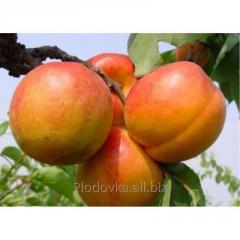 Саженцы абрикоса Хар О`Гем