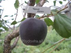 Саженцы абрикоса Черный Персиковый Абрикос