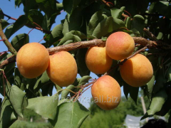 Саженцы абрикоса Pieve ( Пайве)