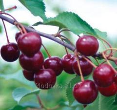 Фиданки за вишни