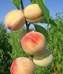 Саженцы персика Донецкий Белый