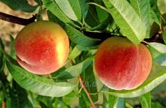 Саженцы персика Мария