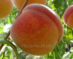 Peach saplings Ambassador of the World