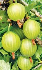 Gooseberry saplings Berill