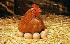 Гранулированный комбикорм для кур-несушек яичных