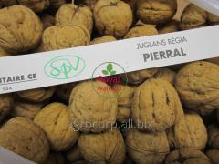 Sapling of Persian walnut French grade Lara