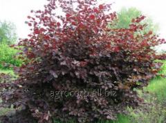 Filbert sapling decorative grade Siren
