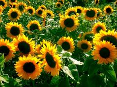 Alamo (high-yielding hybrid of sunflower)