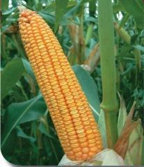 Corn seeds (hybrid) of Porumben 295 DIA