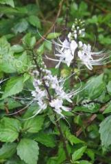 Orthosiphon tychinochnyy.pochechny tea, grass