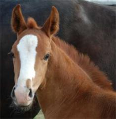 Лошади верхово-упряжные, Молодые лошади Украина