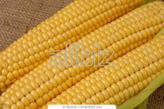 Продаем кукурузу в Сумской области 7000 тонн и