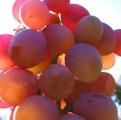 Alina. Saplings of table grades, home-made grapes,