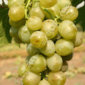 Grapes grades White miracle. Song. The delight is
