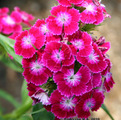 The carnation is Turkish, carnations flowers, the