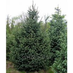 Fir-tree green (ordinary)