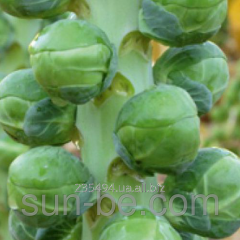 Seeds of Brussels sprout of 2 500 seeds of Diablo