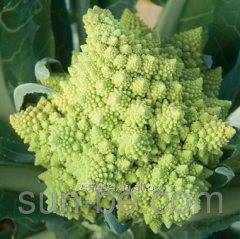 Cabbage seeds Romanesko's type of 2 500 seeds