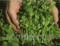 Cilantro seeds Carib of Bejo Zaden of 500 grams