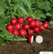 Garden radish seeds Celesta F1
