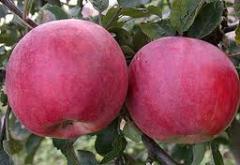 Саженцы яблонь (яблони) Фуджи