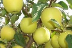 Саженцы яблонь (яблони) Голден