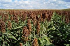 Grain hybrid of sorghum of OGGANA