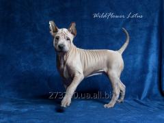 Charming puppy of a Thai ridgeback dog