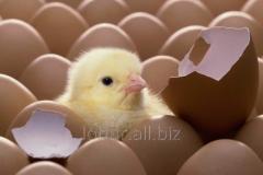 Инкубационное яйцо бройлера РОСС 308