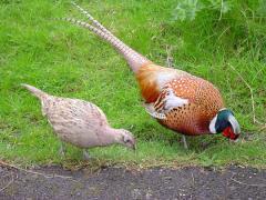 Pheasants decorative