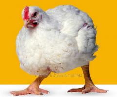 Курчата підрощені
