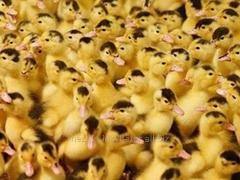 Ducklings Mulard