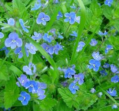 Вероника лекарственная – Veronica officinalis