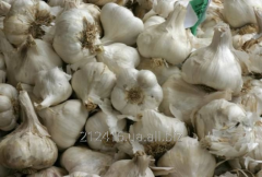 Garlic winter