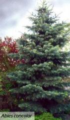 Abies concolor (пихта одноцветная) Киев, Винница,