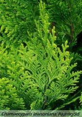 Chamaecyparis lawsoniana Lawson cypress