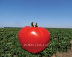Seeds of tomatoes determinant Akela F1
